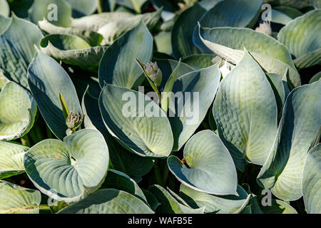 Hosta with creamy green leaves as background. Tokudama variety. Green natural background, abstract green leaf hosts, view from the top. Tropical conce - Stock Photo