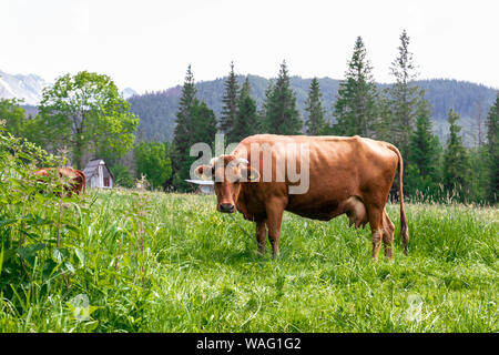 Brown cows graze in a pale green pasture under a blue sky and a faraway straight horizon. Large livestock farm - Stock Photo
