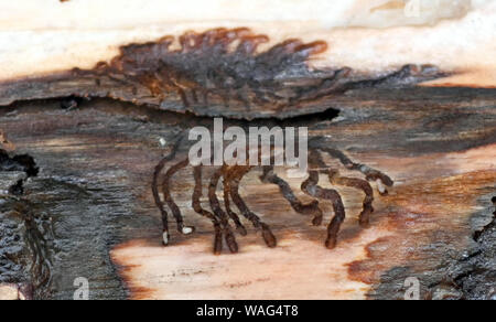20 August 2019, Baden-Wuerttemberg, Ühlingen-Birkendorf: Bark beetle larvae have eaten a pattern into the bark of a tree. In the forests of Baden-Württemberg there is massive damage caused by drought and bark beetles. Photo: Patrick Seeger/dpa - Stock Photo