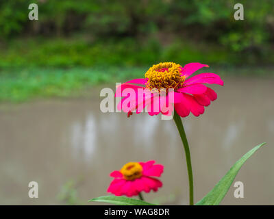 Close up The beautiful twin pink zinnia in blur garden background - Stock Photo