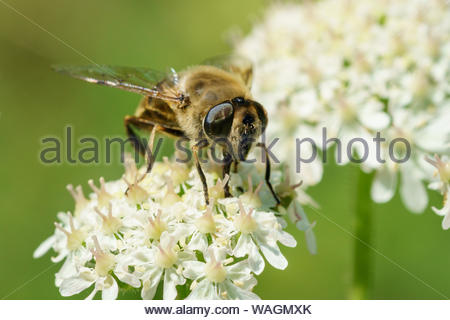 Narcissus Bulb fly (Merodon equestris) in the UK - Stock Photo