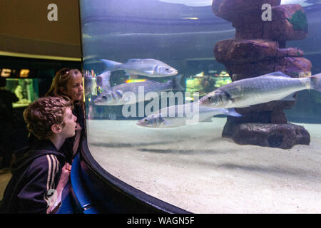 Boy looking fishes in Marine aquarium, Royal Botanic Gardens,     Kew, London Borough of Richmond upon Thames, England, UK, - Stock Photo