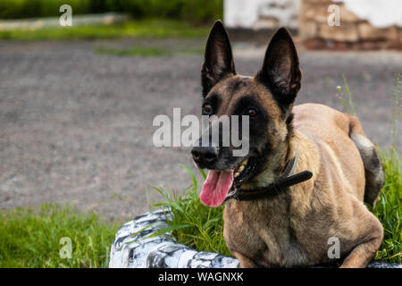 Adult belgian shepherd dog lies on the grass and rests on a summer day. Training and training concept - Stock Photo