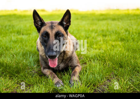Portrait of adult belgian shepherd dog lies on the grass and rests on a summer day. Training and training concept - Stock Photo