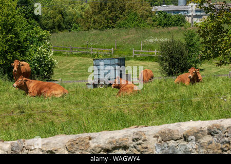 Herd of bulls and cows grazed on green meadow. Cantabria. - Stock Photo