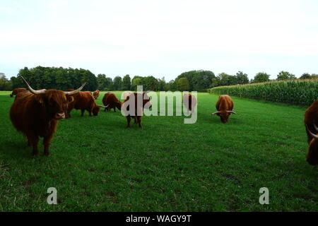 Schottische Hochlandrinder auf einer Weide in Bad Gögging, einem Ortsteil von Neustadt an der Donau in Bayern - Stock Photo