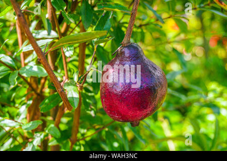 The Red pomegranate (Punica granatum) Growing in Your Garden. - Stock Photo