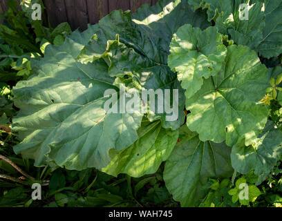Closeup of large Rhubarb plant leaves