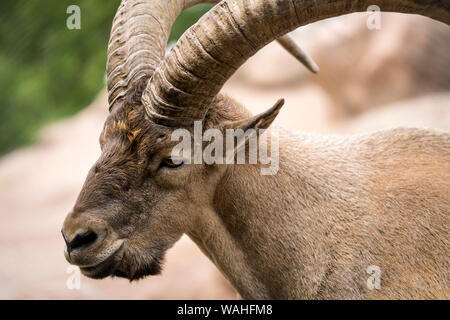 Close view of a West Caucasian tur - Stock Photo