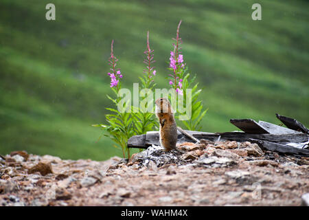 Arctic Ground Squirrel (Parka squirrel) perched up in the rain near some fireweed (Chamaenerior angustifolium). Hatcher Pass, Alaska. - Stock Photo