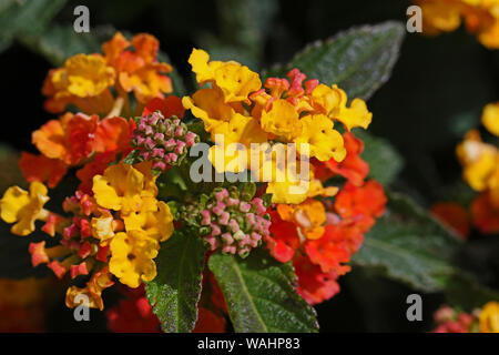 orange, red and yellow lantana camara flower in the verbena or verbenaceae family sometimes called wild, red or white sage, tickberry or umbelanterna - Stock Photo