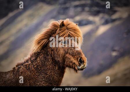 Close up of an Icelandic horse near Vik, Iceland - Stock Photo