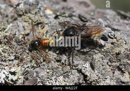Larger bee-like robber-fly with prey - Stock Photo