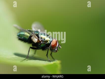 Fliege auf Blatt - Stock Photo