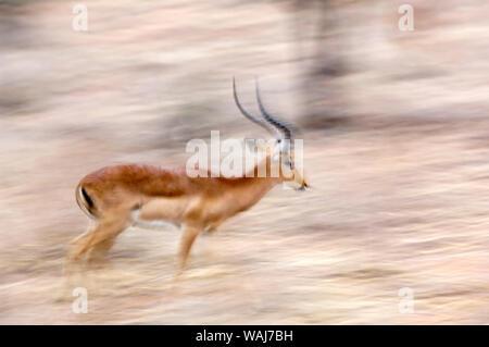 Africa, Kenya, Samburu National Reserve. Motion blur of running male impala. Credit as: Dennis Kirkland / Jaynes Gallery / DanitaDelimont.com - Stock Photo