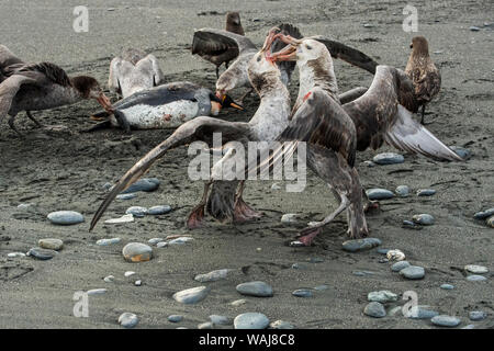 South Georgia Island, Southern giant petrels flying over king penguin carcass. - Stock Photo
