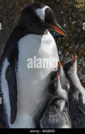 Antarctica, Antarctic Peninsula, Brown Bluff. Gentoo penguin with three chicks. - Stock Photo