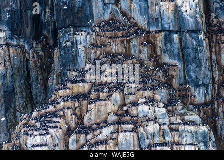 Norway, Svalbard, Spitsbergen, Alkefjellet. Thick-billed murre colony. - Stock Photo