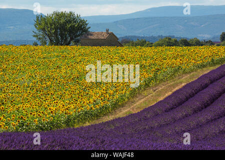 Europe, France, Provence. Lavender field in the Valensole Plateau. Credit as: Jim Nilsen / Jaynes Gallery / DanitaDelimont.com - Stock Photo