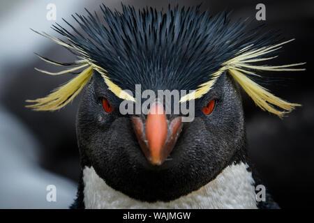 Falkland Islands, West Point Island. Southern rockhopper penguin portrait. - Stock Photo