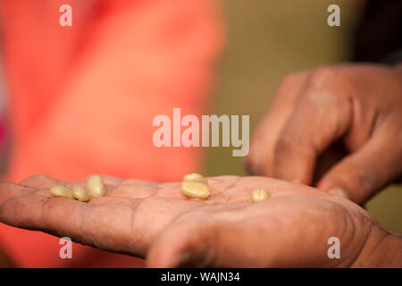 Poas Volcano area, Costa Rica. Man holding coffee seeds that have been extracted from the coffee fruit. - Stock Photo