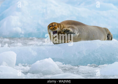 Norway, Svalbard, Spitsbergen. Monacobreen Glacier, bearded seal hauled out on glacial ice.
