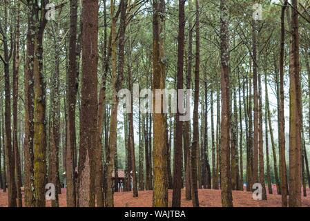 Portugal, Azores, Pico Island, Santa Luzia. Reserva Florestal de Santa Luzia, forest park - Stock Photo