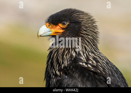 Falkland Islands, Saunders Island. Striated Caracara portrait. - Stock Photo