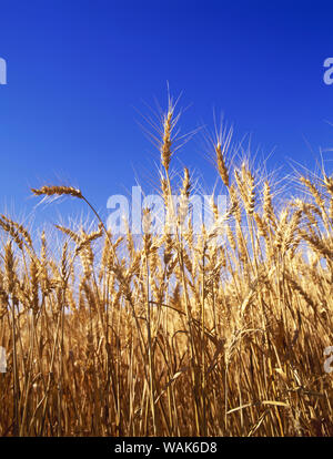 USA, Washington. Wheat ready for harvest in Palouse farm country. Credit as: Dennis Flaherty / Jaynes Gallery / DanitaDelimont.com - Stock Photo