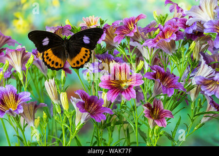 Bộ sưu tập cánh vẩy 6 - Page 14 Orange-black-lilac-tropical-butterfly-hypolimnas-pandarus-pandora-with-large-group-of-flowering-painted-tongue-flowers-wak77f
