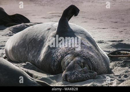 Elephant seals, San Simeon, California - Stock Photo