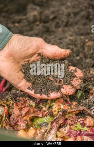 Issaquah, Washington State, USA. Man holding common and entrachyadids earthworms over a worm composting bin. (MR) - Stock Photo