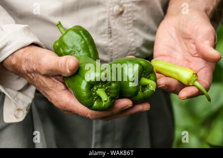 Issaquah, Washington State, USA. Elderly man holding freshly harvested sweet green bell peppers and a chili pepper from his garden. (MR) - Stock Photo