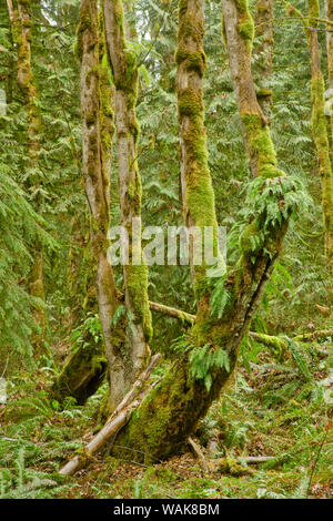 Squak Mountain State Park in Issaquah, Washington State, USA. Licorice ferns growing out of the side of a moss-covered tree, with western sword ferns on the ground around it. - Stock Photo