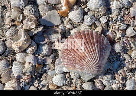 Seashells, Honeymoon Island State Park, Dunedin, Florida, USA - Stock Photo
