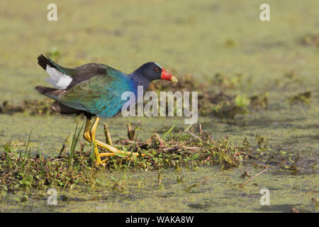 Purple gallinule foraging for food - Stock Photo