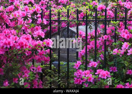 USA, Georgia, Savannah. Bonaventure Cemetery in the spring with azaleas in bloom. - Stock Photo