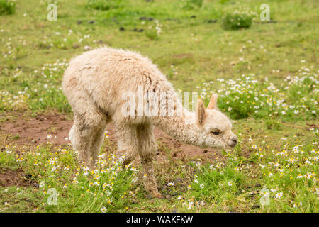 Hood River, Oregon, USA. Baby or cria alpaca grazing in pasture in light rain.
