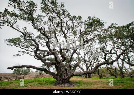 Live oak (Quercus virginiana) exhibit. - Stock Photo