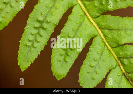 Licorice Fern close-up of leaflets, also known as many-footed fern. - Stock Photo