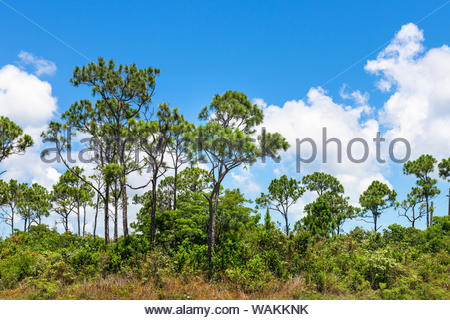 The Bahamian pineyards are seen during the daytime on a Summer day.  The pineyards are a tropical and subtropical coniferous forest covering - Stock Photo
