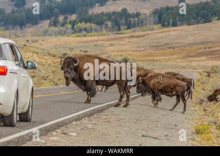Yellowstone National Park, Wyoming, USA. Large male American bison blocking cars from moving on the highway. - Stock Photo
