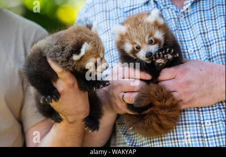 Dortmund, Germany. 21st Aug, 2019. Animal-keepers hold the two still nameless twins of the small panda (Ailurus fulgens) in the hands. The Zoo in Dortmund presents for the first time the offspring of the little pandas: Since 2004 the pandas inhabit the zoo complex in the Dortmund Zoo. They are among the audience's favourites. Credit: Guido Kirchner/dpa/Alamy Live News - Stock Photo