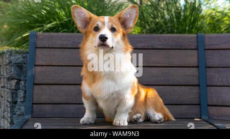 Portrait of a Cute Puppy Corgi Pembroke on the bench in the park. Happy Corgi dog close-up