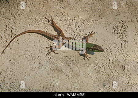 Italian wall lizard bright green and close up Latin name podarcis sicula muralis crawling along a wall in Italy - Stock Photo
