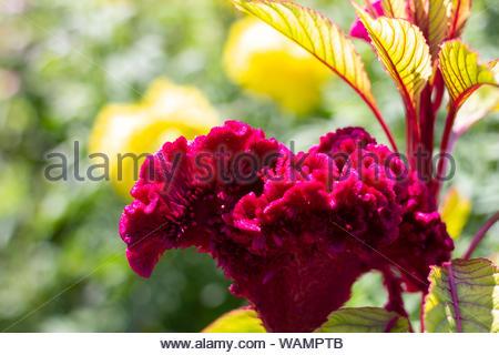 purple velvet flower in the garden - Stock Photo