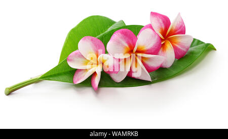 plumeria flowers and leaves isolated on white background - Stock Photo