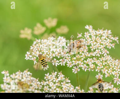 Bee-like and hoverfly-like insects foraging feeding on Hogweed / Heracleum sphondylium flowers. - Stock Photo