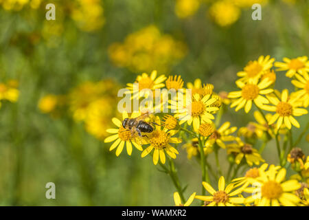 Bee-like insect foraging on massed yellow flowers of Common Ragwort / Jacobaea vulgaris syn Senecio jacobaea of Asteraceae family. Troublesome weeds. - Stock Photo