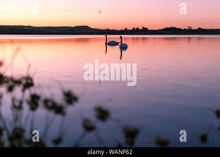 gang, group of swans at sunrise. Shadows and warm lights. Backlight. Silhouettes. Beautiful background. - Stock Photo